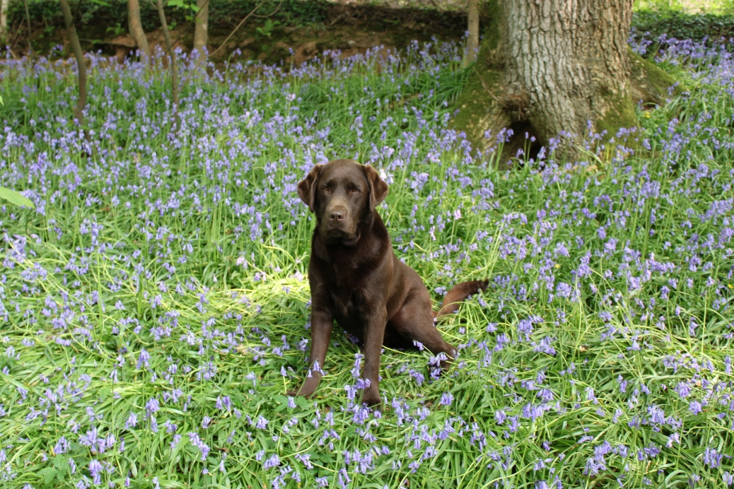 Rafferty in the Bluebells