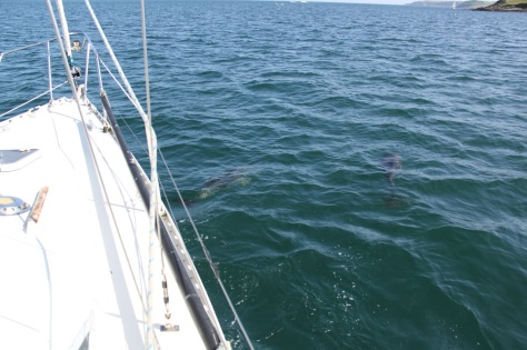 Dolphins under the boat