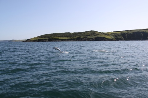 Dolphin jumping in Falmouth Bay